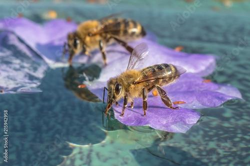 Aluminium Prints Bee bienen auf dem wasser