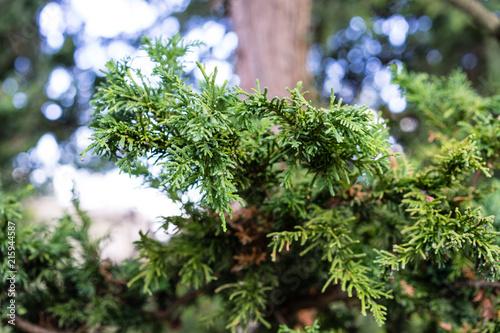 Fotografiet  Branch and Leaf of the Dwarf Hinoki Cypress, chamaecyparis obtusa, Nana Gracilis