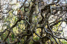 Close Up Of Corkscrew Hazel Al...