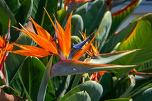 Orange Bird Of Paradise Flower...