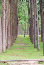 Pine Trees Plantation (suanson...