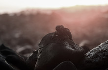 Marine Iguana On Rocky Coastli...