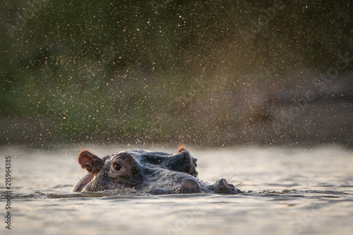 A horizontal, surface level colour photograph of a hippo, Hippopotamus amphibius, spraying water in Djuma Private game reserve, South Africa Fototapet