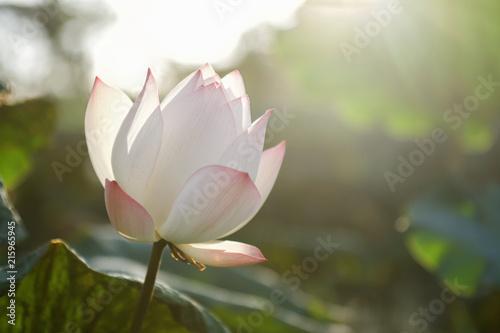 Foto op Canvas Lotusbloem lotus flower in pond with sunrise