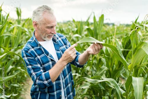Farmer inspecting corn field summer sunny day Wallpaper Mural