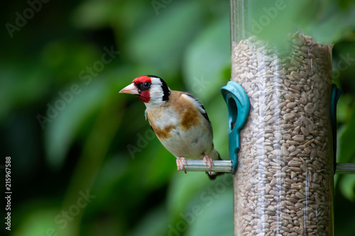 Tablou Canvas Close up of a Goldfinch sitting on a garden bird feeder in Bath, England