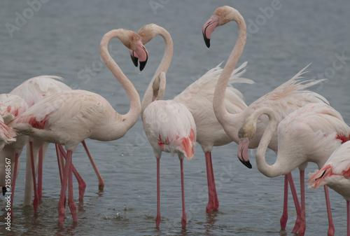Foto op Plexiglas Flamingo Greater flamingo