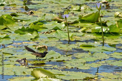 Staande foto Oceanië Detail of lake covered by waterlilies. Australia.