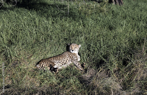 A Cheetah Acinonyx Jubatus Resting In Lush Green Grass In