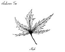 Hand Drawn Of Autumn Maple Lea...