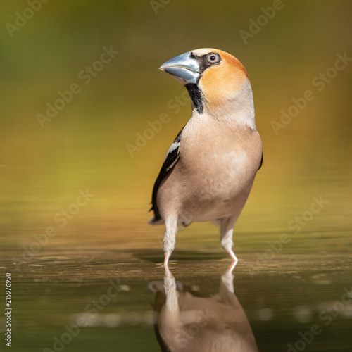 Fototapeta Hawfinch taking a bath