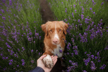 The Dog Gives The Paw. Pet In The Colors Of Lavender. A Picture From Above. Funny Face. Nova Scotia Duck Tolling Retriever, Toller