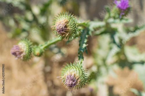 Stampa su Tela A prickly green plant, burdock .