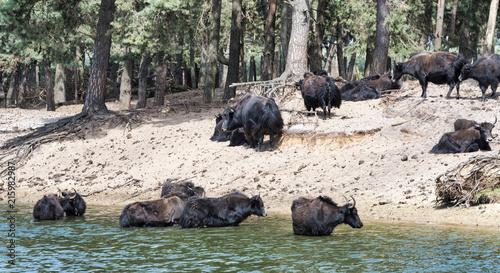 group of tibetan Yak animals