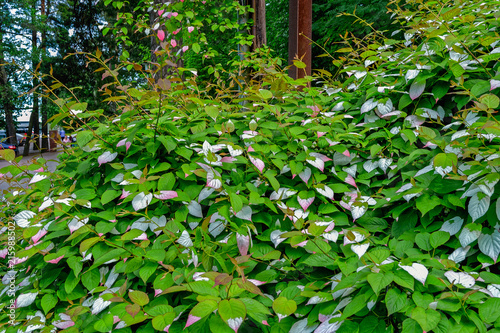 General view of colorful Actinidia kolomikta flowering plant, commonly known as variegated-leaf hardy kiwi Wallpaper Mural