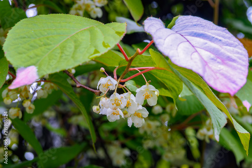 Colorful Actinidia kolomikta flowering plant, commonly known as variegated-leaf hardy kiwi Canvas Print