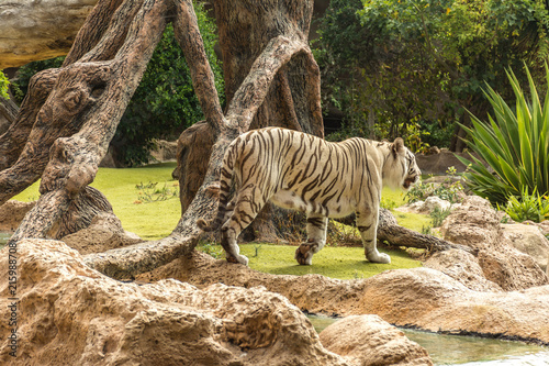 Fotografie, Obraz  White tiger in a zoo in good Animal welfare in a zoo