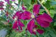 Dark purple clematis flowers.