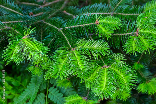Young shoots on the branches of spruce.