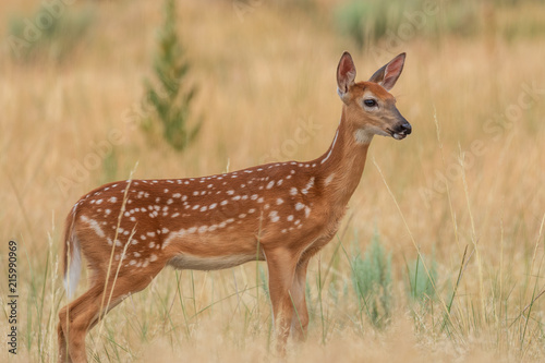 Plakat Whitetail Deer Fawn