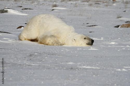 Staande foto Ijsbeer Polar Bear, Ursus Maritimus, sliding down snow to stay cool near the shores of Hudson Bay, Churchill, Manitoba, Canada