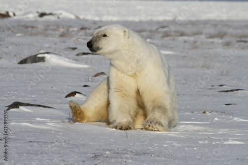 Tuinposter Ijsbeer Polar Bear, Ursus Maritimus, sitting on snow and staring off into the distance, near the shores of Hudson Bay, Churchill, Manitoba, Canada