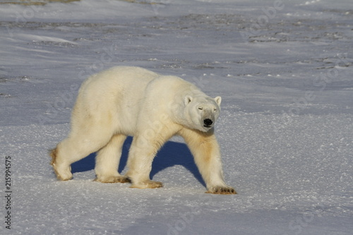 Tuinposter Ijsbeer Polar Bear, Ursus Maritimus, walking on tundra and snow on a sunny day, near the shores of Hudson Bay, Churchill, Manitoba, Canada