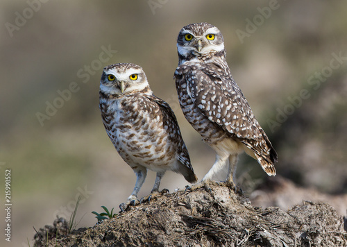 Couple of burrowing owls photographed in Argentina