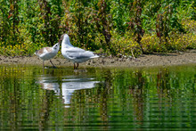 Adult Seagull Feeding A Young Bird By The Side Of A Lake With Reflection