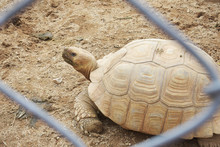 African Tortoise In Corral, As Know As Sulcata Tortoise They Have Beautiful Golden Color Of Shell Of Tortoise.