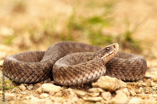 female Vipera berus on ground, full length