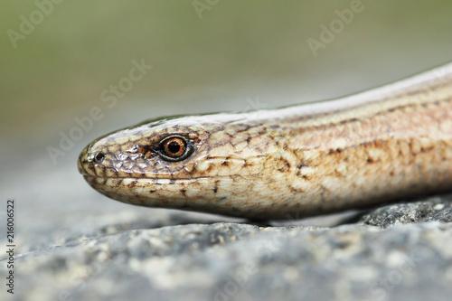 macro portrait of young slow worm