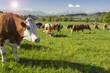 canvas print picture - Kühe auf der Weide in Bayern im Allgäu