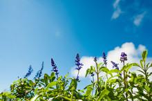 Salvia Farinacea Benth And Blue Sky.