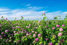 Pink Clover Meadow And Blue Sk...