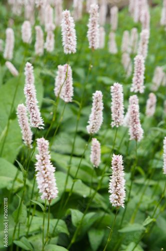 Polygonum bistorta superbum pink plant with green Wallpaper Mural