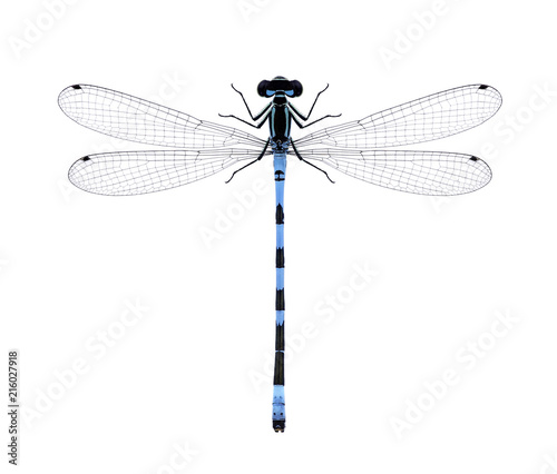 Damselfly Coenagrion hastulatum on a white background