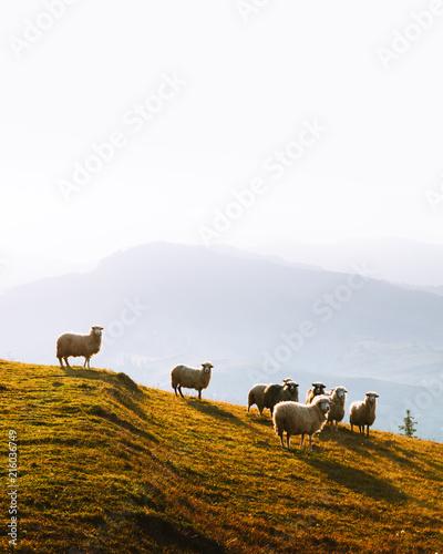 Herd of sheeps in foggy autumn mountains. Carpathians, Ukraine, Europe. Landscape photography