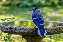 Blue Jay Perched On Rim Of Birdbath With Colorful Background