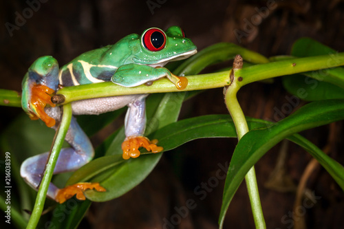 Foto op Plexiglas Kikker The red eyed tree frog lie on the plant stem and dreaming about cricket