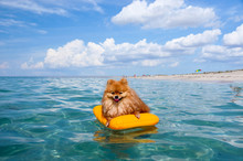 Pomeranian Spitz, Orange Dog Floats On The Sea On A Mattress, Live In Pleasure.