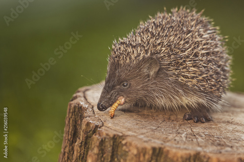 Photo  Wild european hedgehog eating grub