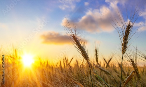 Acrylic Prints Sunset Sun Shining over Golden Barley / Wheat