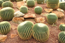 Sphere Green Cactus On A Small Rock In Botanic Garden.