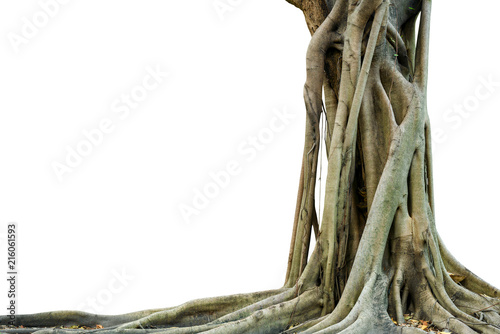 Photo  Roots of a tree and trunk isolated on white background