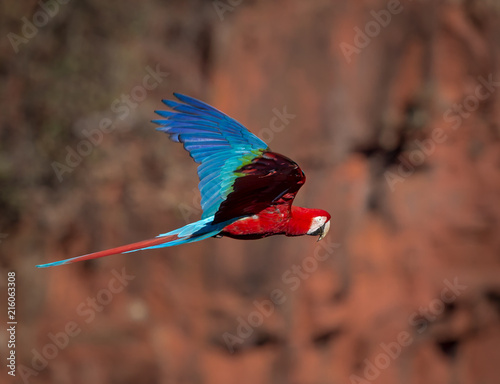 Photo Stands Bird Portrait of red and green Macaw in the wild.CR2