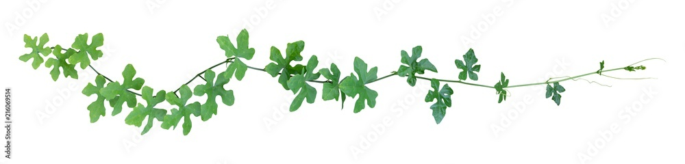 Fototapeta vine plant climbing isolated on white background. Clipping path
