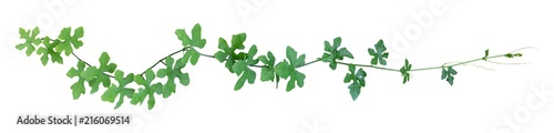 Obraz vine plant climbing isolated on white background. Clipping path - fototapety do salonu