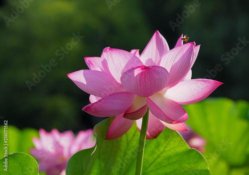 Deurstickers Lotusbloem 満開になった不忍池のハスの花