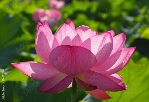 Foto op Canvas Lotusbloem 満開になった不忍池のハスの花